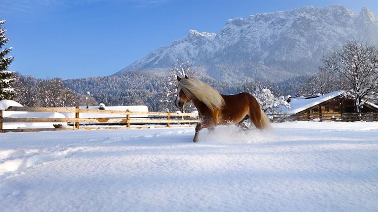 Haflinger Advent