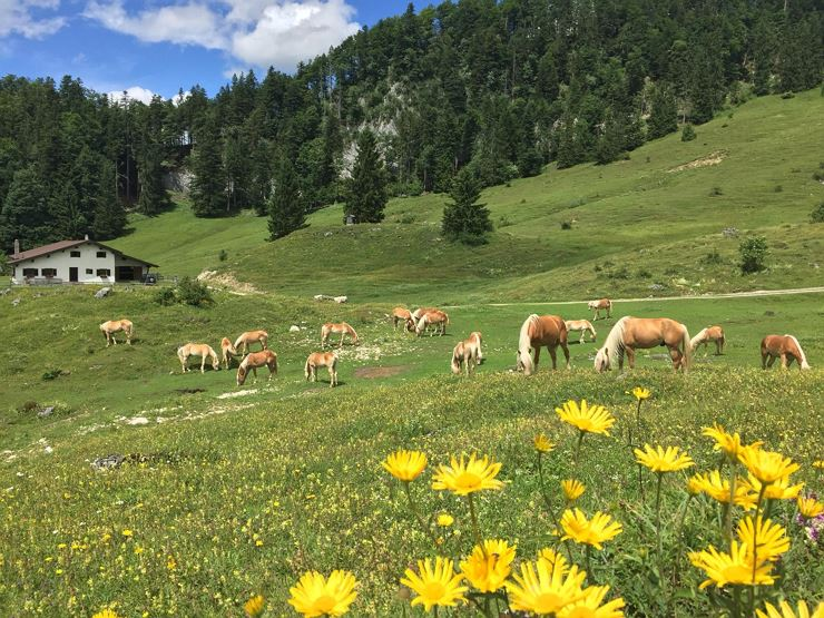 Visit the haflinger stallions on the alm - Ebbs