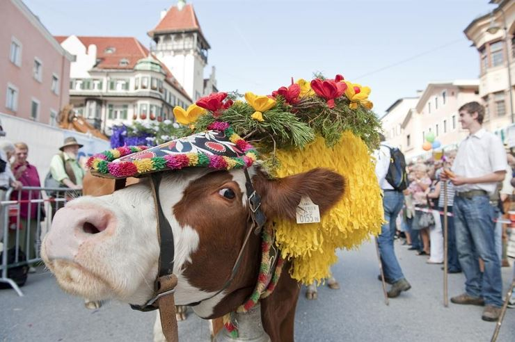 Bringing home the cattle in  Kufstein