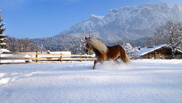 Christmas market 'Haflinger Advent'