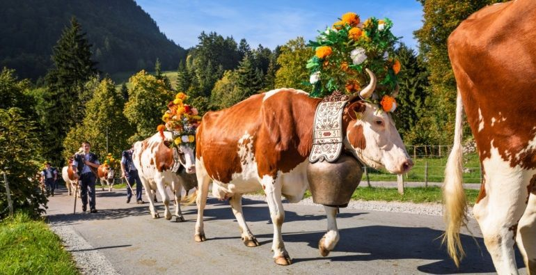 Bringing home the cattle Thiersee